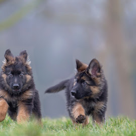 Growing up together by Ruud Lauritsen - Animals - Dogs Puppies ( german shepherd pups, pups photography, pups playing, german shepherd, old germansheperd pups,  )