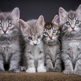 Anna's babies by Eric Christensen - Animals - Cats Kittens ( sitting, furry, kittens, four, tabby )