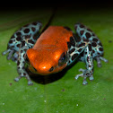 Poison Dart Frog - Red-Backed