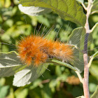 Virginian Tiger Moth Caterpillar