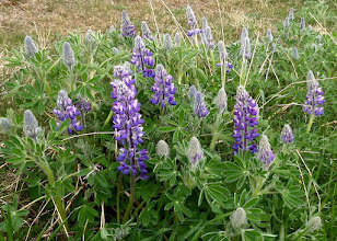 Photo: I saw the first lupines here.