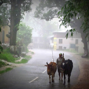 heavy rainfall destroyed  himachali peasants by Parvesh Rana - People Street & Candids