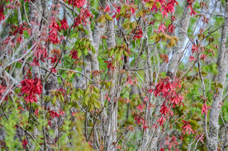 Photo: In early spring, the brilliant seed pods of red maples come out; Lake Woodruff NWR