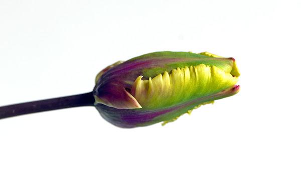 <p> parrot tulip</p>