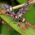 Yellow-ringed Grass Moth