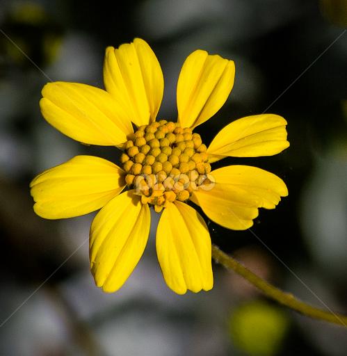 Wild yellow flower flowers in the wild flowers pixoto wild yellow flower by dave lipchen flowers flowers in the wild wild yellow flower mightylinksfo