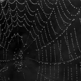 Spider web Droplets by Karina Zawilinski - Black & White Animals ( radial, web, symmetry, spider, water drops )