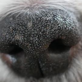 Dog nose by Pamela Iain - Animals - Dogs Portraits