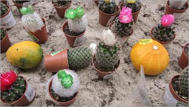 Photo: ...si Cactuși (Cactaceae) , spini cu flori la DEDEMAN - 2018.09.11