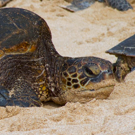 Green Sea Turtle by D. Bruce Gammie - Animals Amphibians ( ocean, hawaii, beach, green sea turtle, maui )