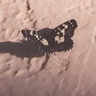 Poecile Checkerspot