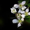 Wild Blackberry Bush