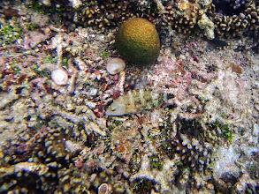 Photo: Cheilinus trilobatus (Tripletail Wrasse), Miniloc Island Resort reef, Palawan, Philippines.