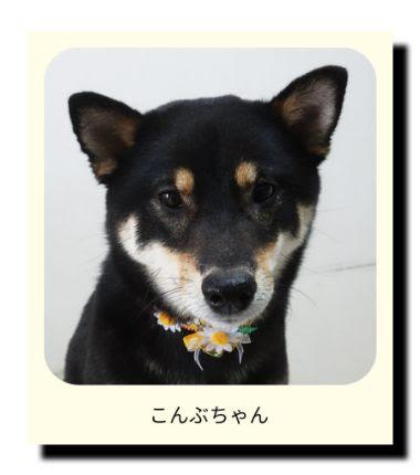 柴犬のこんぶちゃん