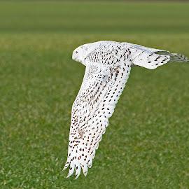 Flying by Bill Diller - Animals Birds ( in flight, flight, raptor, birds of prey, michigan, owl, nature, bird of prey, snowy owl, flying, bird, wildlife )