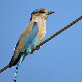 Blue on blue by Akbar Ali Asif - Animals Birds ( pakistan, birds of pakistan, animals, roller bird, nature, sindh, birds, indian roller, bird on a wire )