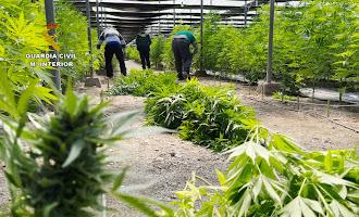 64.800 plantas de marihuana en invernaderos de El Ejido