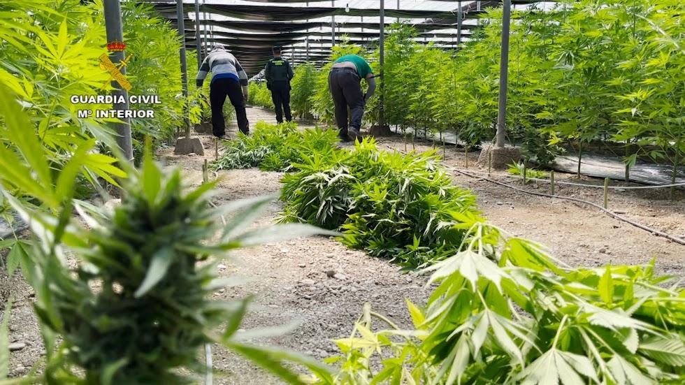 Plantación de marihuana en El Ejido.