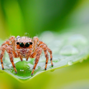 Carrhotus by Romy Yuliawan - Animals Insects & Spiders