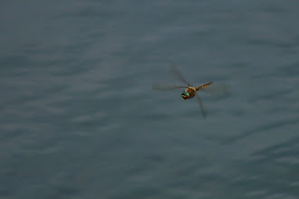 Photo: Dragonfly in flight Took me surprisingly few attempts, but a lot of patience to get one I liked.  #365project curated by +Susan Porter and +Simon Kitcher