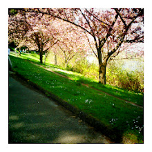 Photo: Last of the cherry blossoms, Seattle 2012