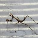 Nymph (Mantis)