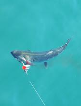 Photo: Silver or Coho Salmon