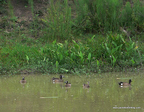 Photo: Blue-winged Teal, somewhere in East Texas