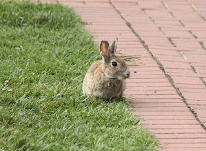 Photo: Year 2 Day 227 -  A Rabbit on the Memorial Lawns