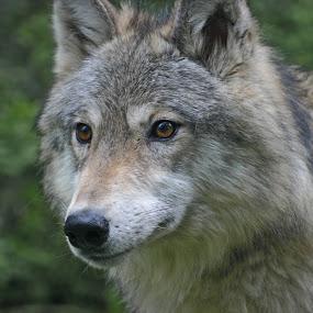 Gray Wolf by Anita Elder - Animals Other Mammals ( wolf, dog, gray )