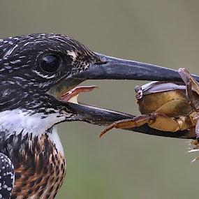 Dinner by Johann Fouche - Animals Birds ( giant kingfisher, eating, dinner, kingfisher, crab,  )