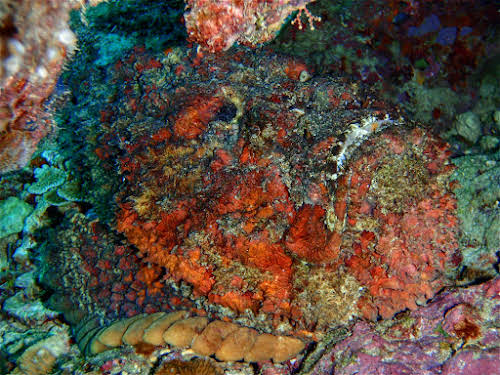 Reef Stonefish, Curtesy of TAKA