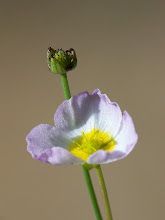 Photo: Baldellia ranunculoides