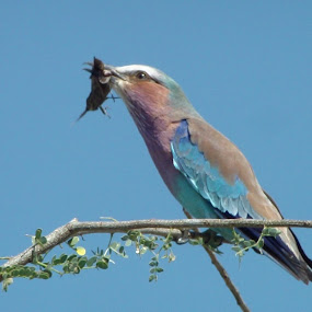 Lilac-Breasted Roller by Christelle de Smit - Animals Birds