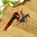Robberfly vs Tiger Beetle