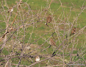 Photo: Lark Sparrows flock in huge numbers some winters in the Panoche Valley, San Benito County.