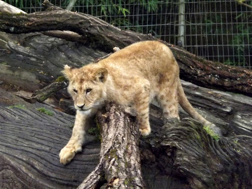 Lionceau d'Angola (6 mois), Mervent - Tous droits réservés