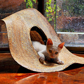 i just love my new hat by John Kolenberg - Animals - Cats Kittens ( hats, playing, kitten, sombrero, kittens, sombreros, hat, Dogs, Cats, Pets, Rabbits, Animals, pet, livestock, cows, , #GARYFONGPETS, #SHOWUSYOURPETS )