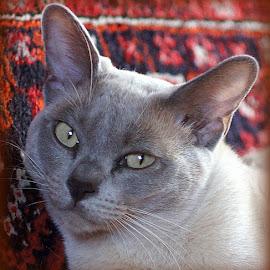 Mathilda by Caroline Beaumont - Animals - Cats Portraits ( grey cat, pedigree cat, lilac burmese cat, burmese cat, burmese )