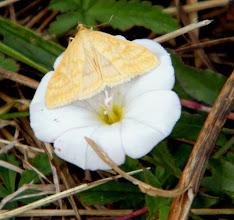 "Photo: Microlépidoptère ""OSTRINIA NUBILATIS"" - Pyrale du maïs - sur liseron des haies."