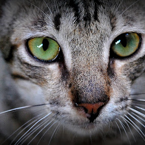 Meong by Dino Rimantho - Animals - Cats Portraits ( cats, meong, kucing, calico, cat, , face, photography, closeup, close, up, #GARYFONGPETS, #SHOWUSYOURPETS )