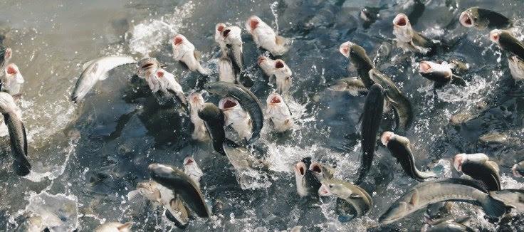 cho cá ăn