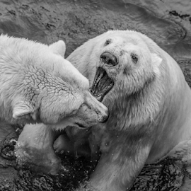 Bear scrap by Garry Chisholm - Black & White Animals ( polar bear, mammal, nature, ranua, finland, garry chisholm )