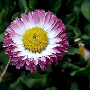 Floare de primavara 2.JPG