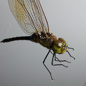 Dragon Fly by Masud Pathan - Animals Insects & Spiders ( macro, fly, dragon, insect )