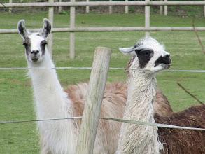 Photo: Day 3 - Aaaah Llamas!!