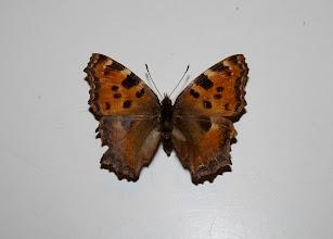 Photo: Nymphalis polychloros  Lepidoptera Nymphalidae