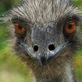 Something in your eyes by Jasminka Nadaskic Djordjevic - Animals Birds ( face, animals, nature, emu, birds, eyes,  )