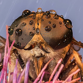The Horsefly by Atanas Donev - Animals Insects & Spiders ( scary, macro, fly, insect, horsefly, close up, rain,  )