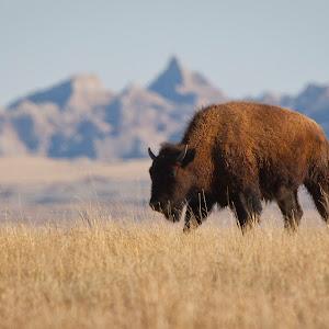 D:\personal\BADLANDS\bison 2.jpg